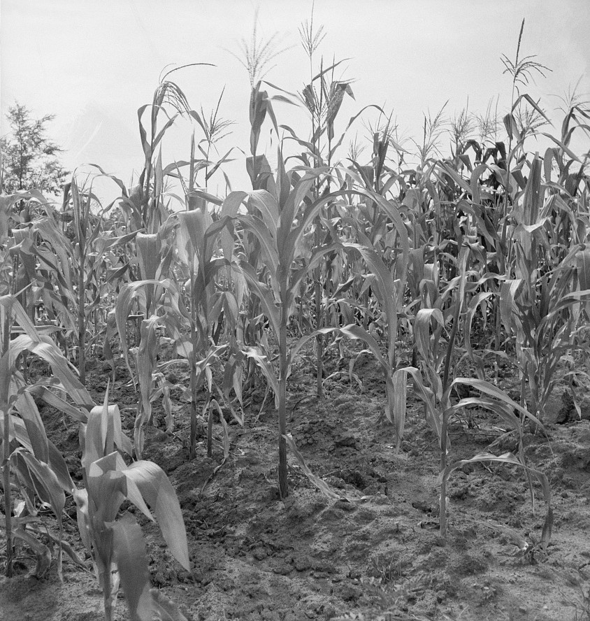 Close up of poor corn. Orange County, North Carolina July 1939 by Dorothea Lange