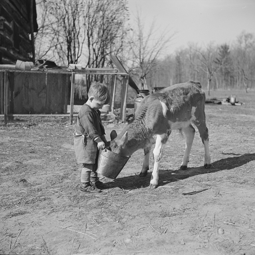 Michigan, child feeding calf