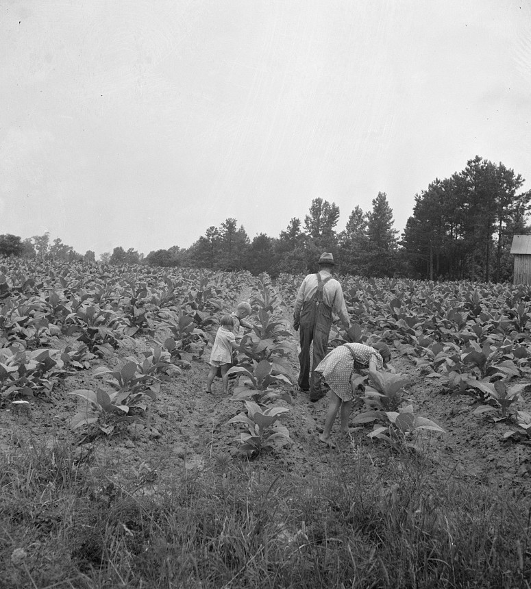 Tobacco sharecropper and his children working on tobacco patch, topping and worming July 1939 Dorothea Lange