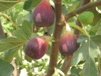 Figs, Birds and Mosquitoes