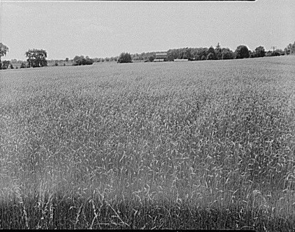 Michigan, Birmingham -wheat field