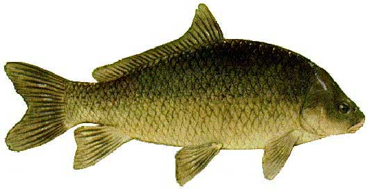 Small mouth buffalo fish