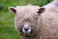 DYK: Pulling the wool over one's eyes