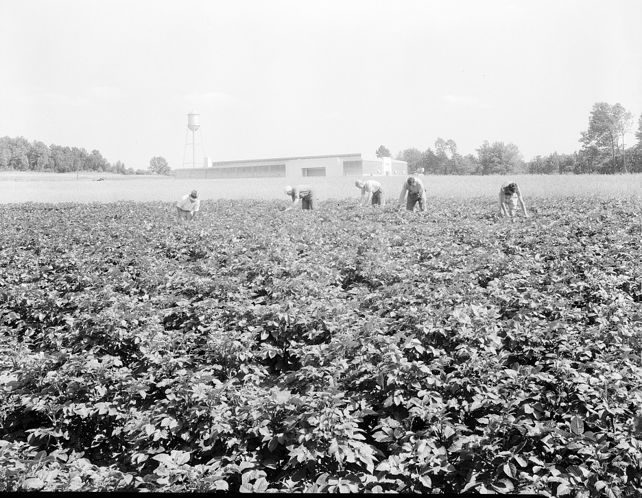 Factory and field, run on cooperative basis by resettled families at Hightstown. men are working in the potato field, one of the crops on the farm of 414 acres. lange