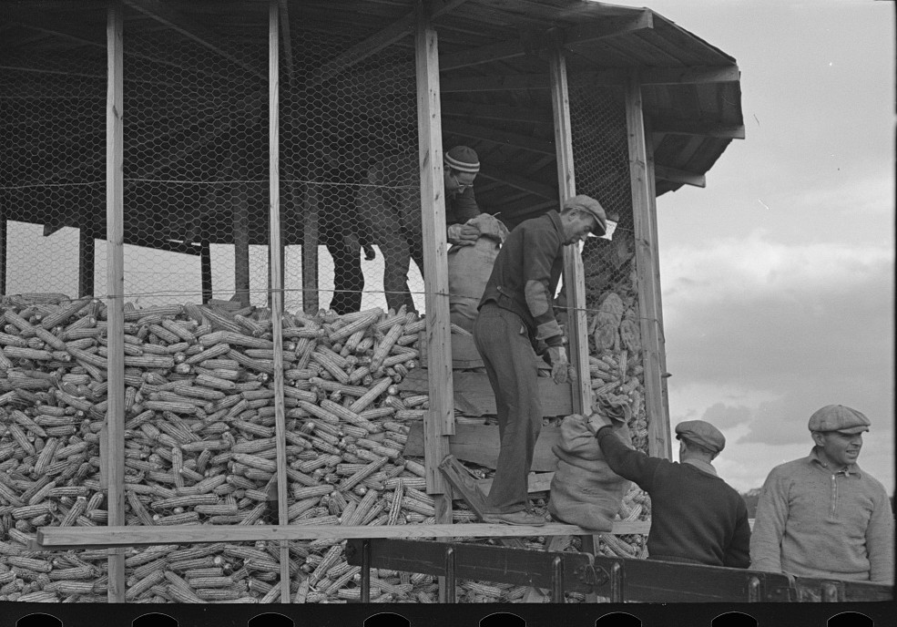 Homesteaders of Hightstown, New Jersey, helping to store corn for the dairy herd which is soon to be acquired by the colony russ 1936