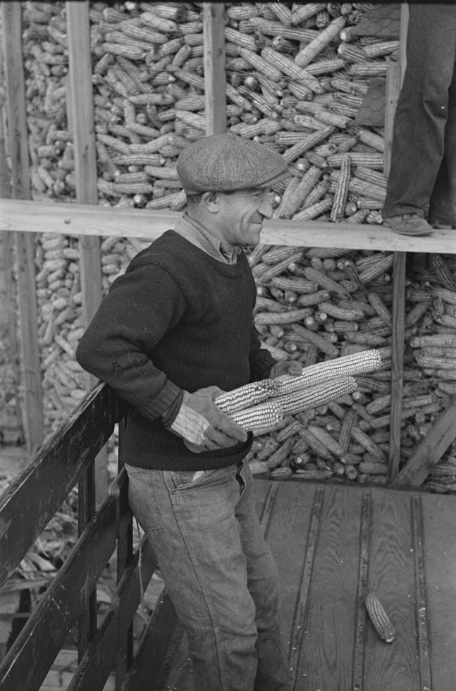 William Singer, homesteader at Hightstown, New Jersey, helping to store corn for the dairy herd which is soon to be acquired by the colony nov. 1936