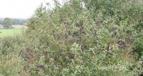 Privet hedges were once a method of behavior modification