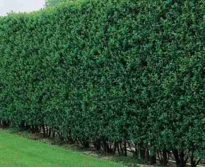 privet hedge2
