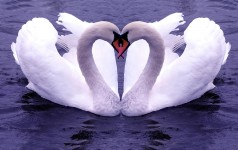 DYK: Swan song – It may not mean what you may think