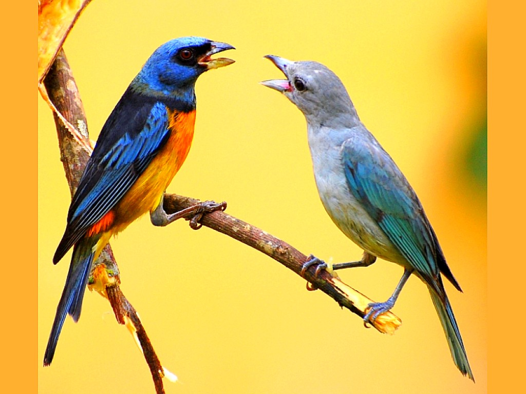 Singing_Birds_Wallpaper__yvt2