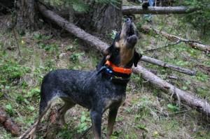 bluetick hound
