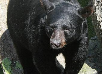 BEARS gb_int_gsm_img_big-black-bear