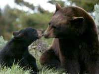 Gatlinburg – a fun place to visit – but watch out for the bears like this