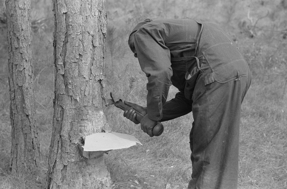 Chipping turpentine on a second-year face with a hack. Near Pembroke, Georgia 1941 Jack Delano