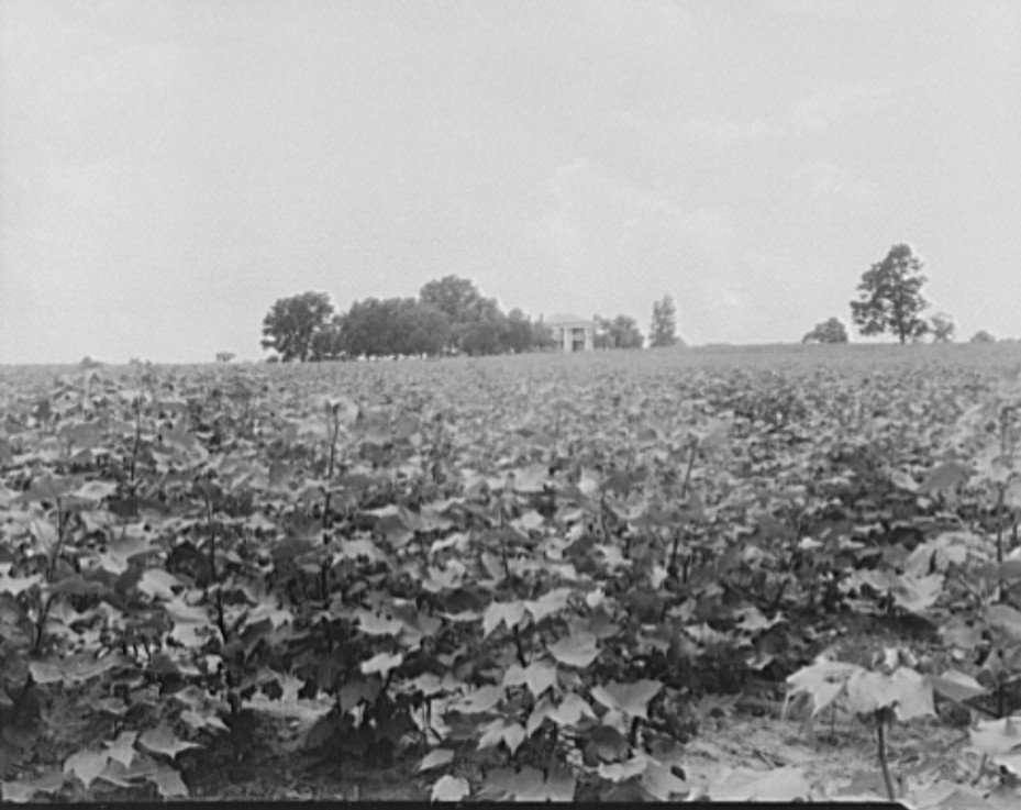 Cotton field and plantation house. Macon County, Georgia 1937 lange