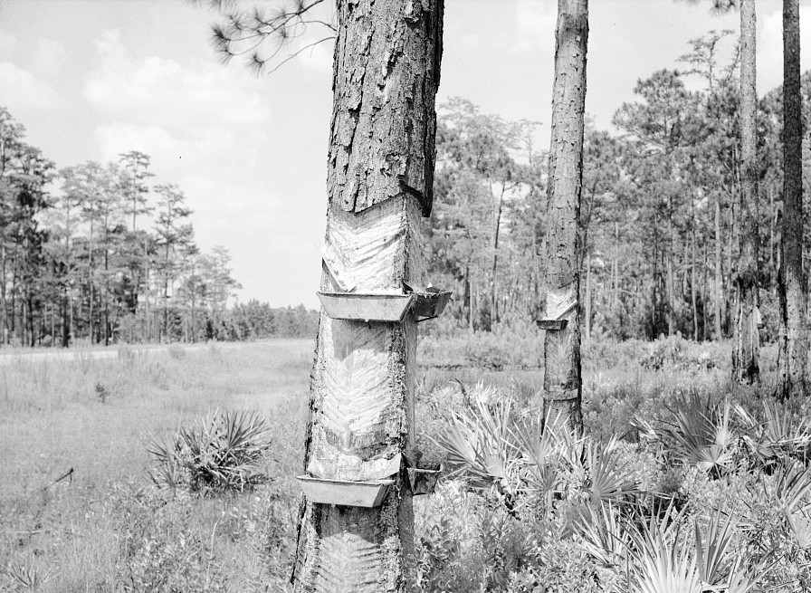 Pine tree practically girdled with two boxes in southern Georgia, near Valdosta June 1936 by Carl Mydans