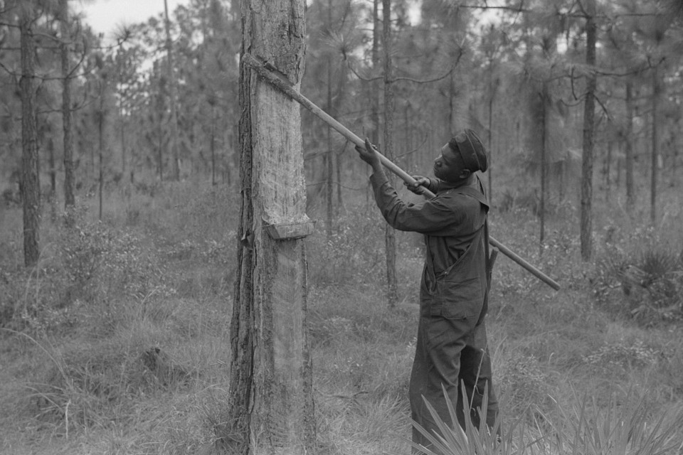 Pulling operation of a four-year face in a turpentine grove near Pembroke, Georgia 1941 Jack DeLano