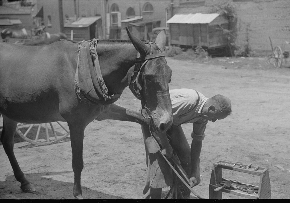 Shoeing a mule in 1939 Greene county2