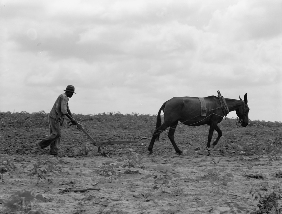 The cotton sharecropper's unit is one mule and the land he can cultivate with a one-horse plow. Greene County, Georgia 1937 dorothea lange