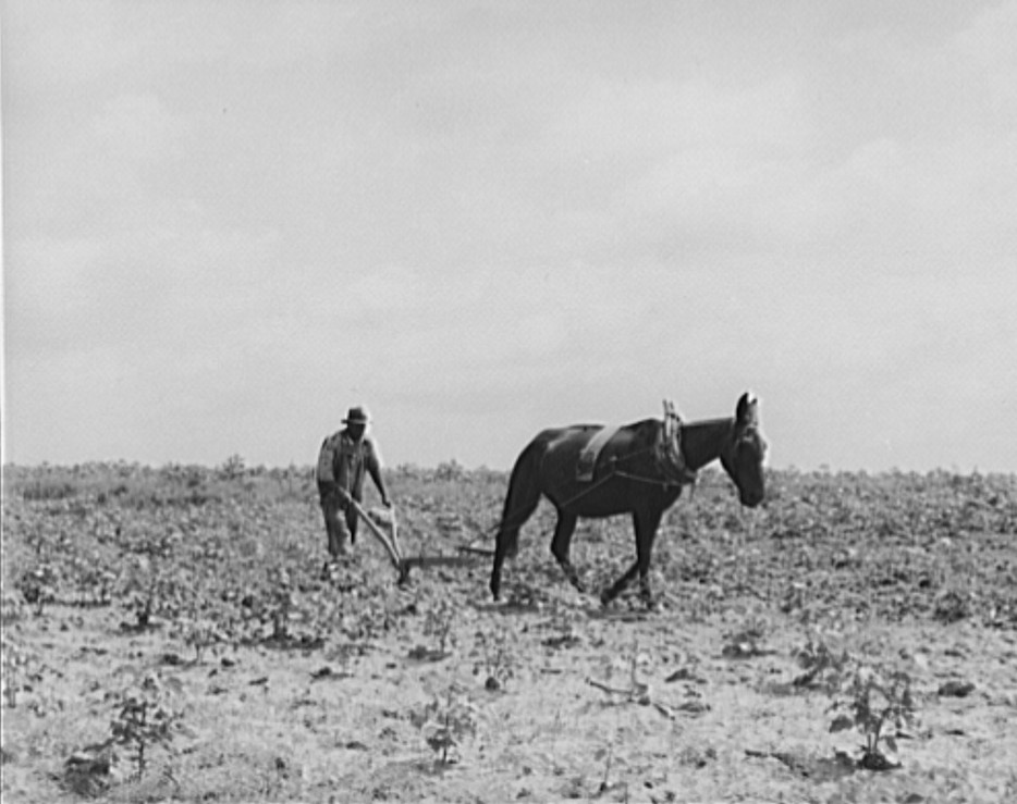 The cotton sharecropper's unit is one mule and the land he can cultivate with a one-horse plow. Greene County, Georgia2 1937 dorothea lange