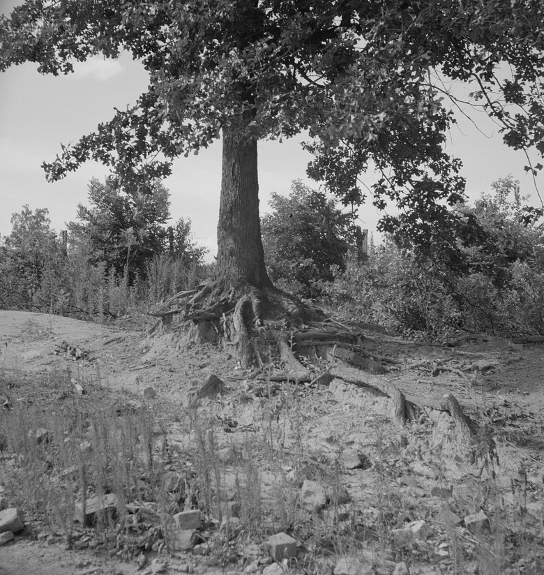 The tree roots show how the land has been washed away on this old plantation. Wray Plantation, Greene County, Georgia 1937 dorothea lange