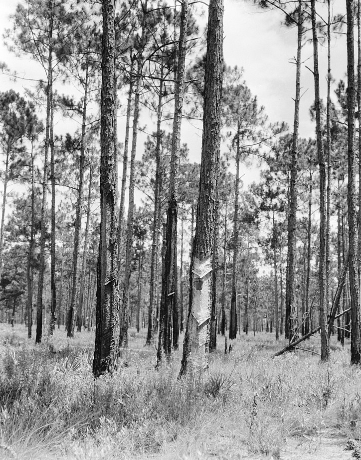 Turpentine trees Florida 1936 by Dorothea Lange