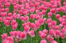 Prayer, Tulips and Miracles, this Story Will Touch Your Heart