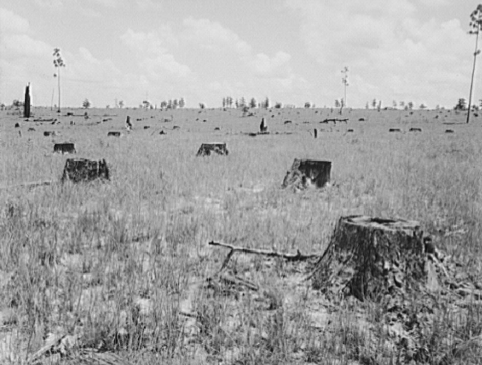 deforested-longleaf