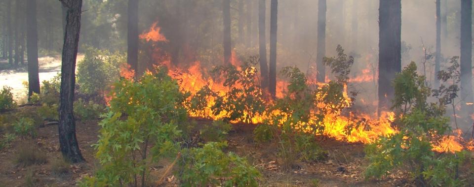 long leaf pine fire
