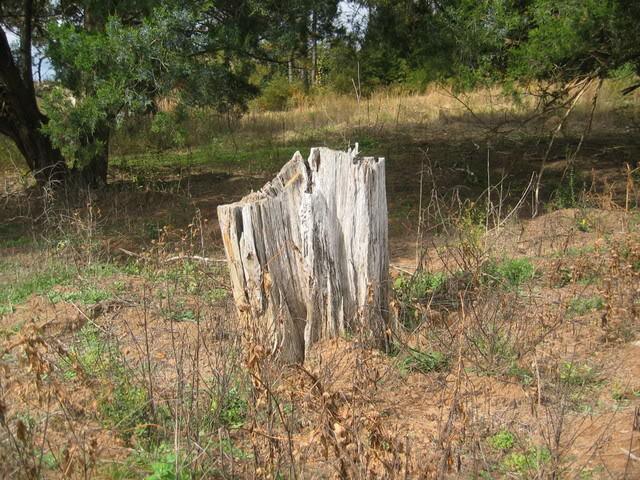 long leaf stump