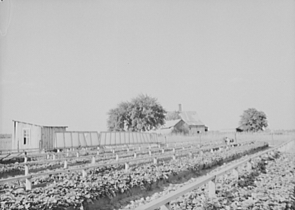 Community sweet potato plant projects at Lake Dick resettlement project near Althimer, Arkansas