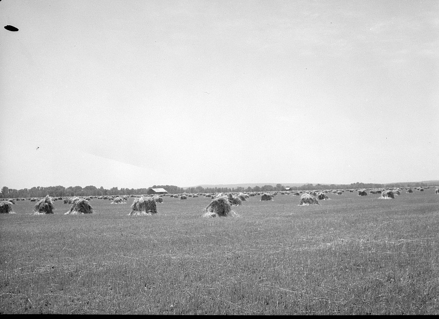 Fall wheat near Batesville, Arkansas June 1936 by Carl Mydans