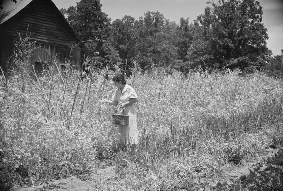 Rehabilitation client picking English peas on farm near Batesville, Arkansas