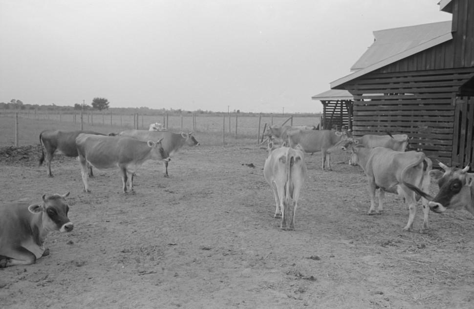 Bull, Lake Dick Project, Arkansas