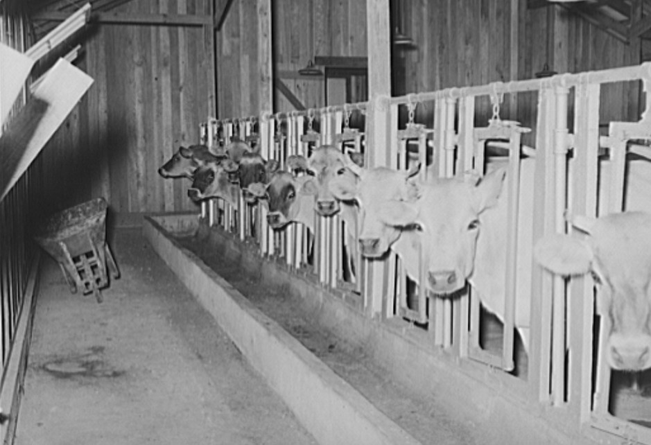 Cows in stanchions in dairy barn. Lake Dick Project, Arkansas