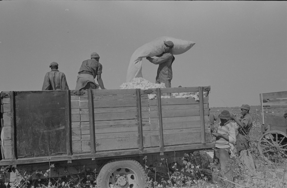 Emptying sacks of cotton onto truck, Lake Dick Project2, Arkansas