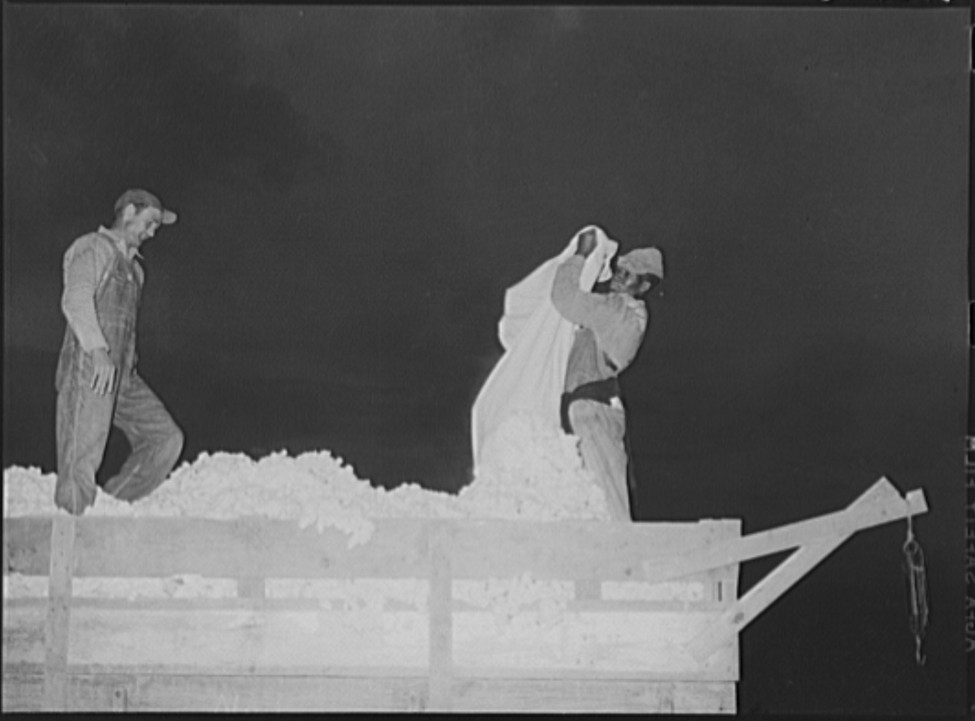 Emptying sacks of cotton onto truck3, Lake Dick Project, Arkansas