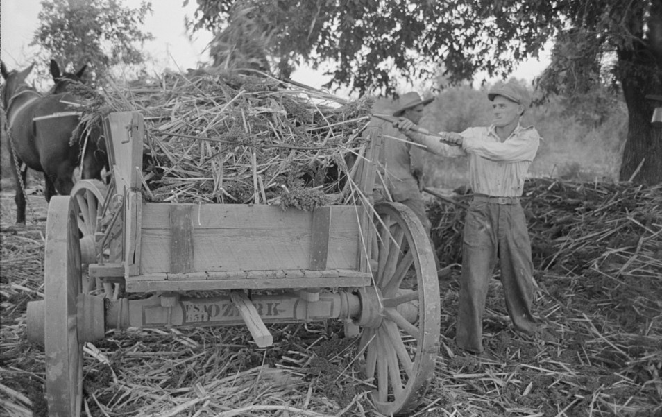 Farmer loading strippings from sorghum into wagon, Lake Dick Project, Arkansas by Russell Lee 1938