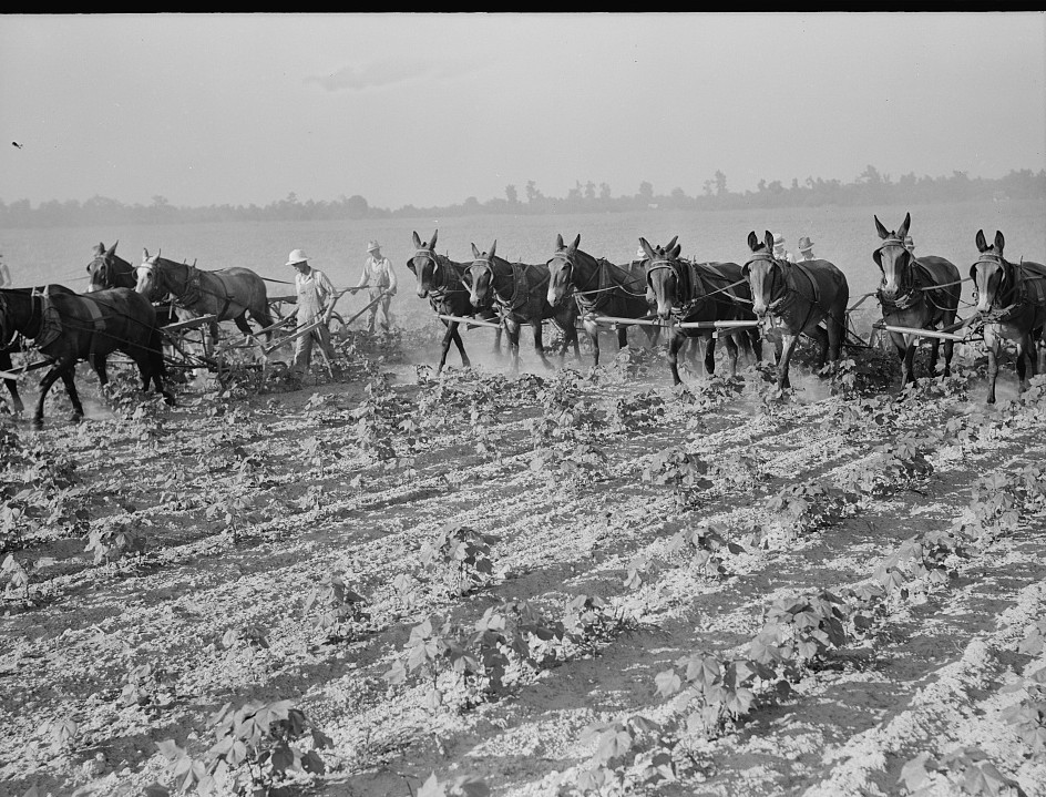 Farmers about to begin cooperative cultivation of cotton at Lake Dick project, Arkansas2
