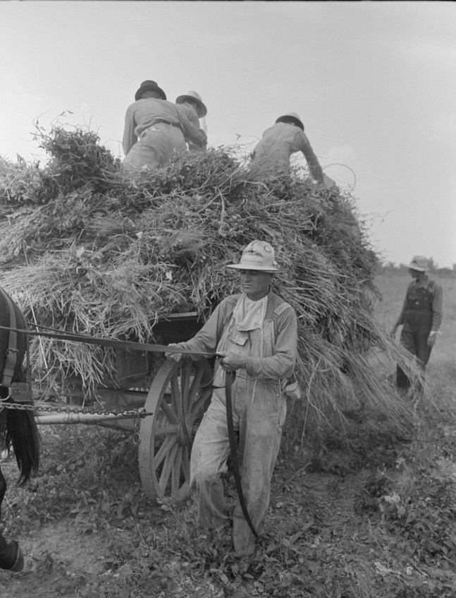 Man driving mule is president of cooperative association putting up soybean hay, by Russell Lee Oct. 1938