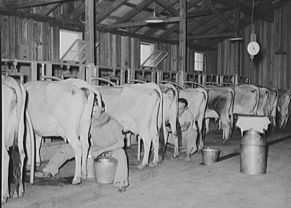 Milking cows in dairy barn. Lake Dick Project, Arkansas