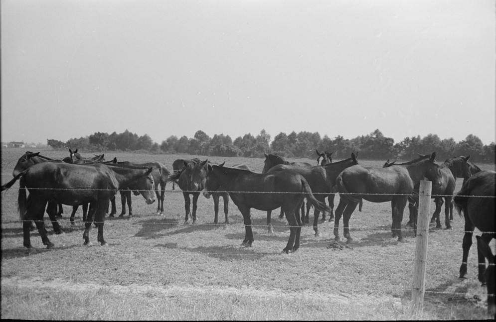 Mules, Lake Dick Cooperative Association, Lake Dick, Arkansas]