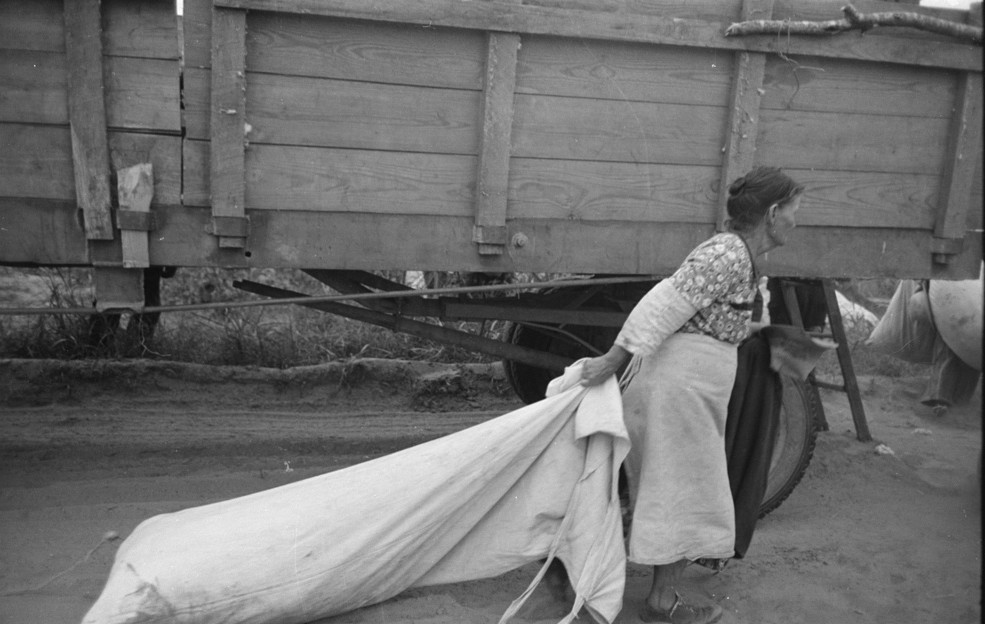 This woman is dragging a heavy load of cotton at Lake Dick