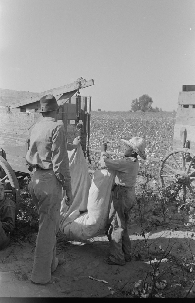 Weighing cotton, Lake Dick Project, Arkansas