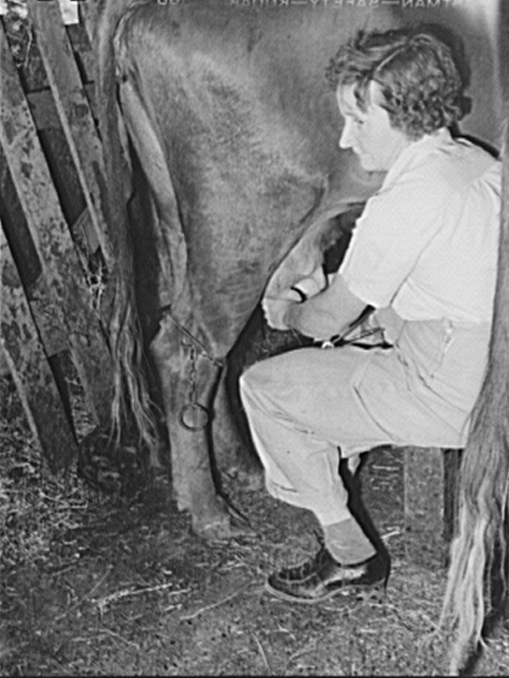 Wife of a member of the Ola self-help cooperative milking a cow. All members of the cooperative have cows, chickens, and gardens