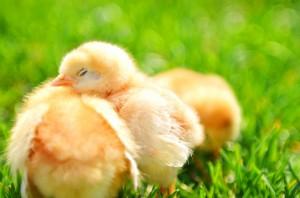 chicks-900x595