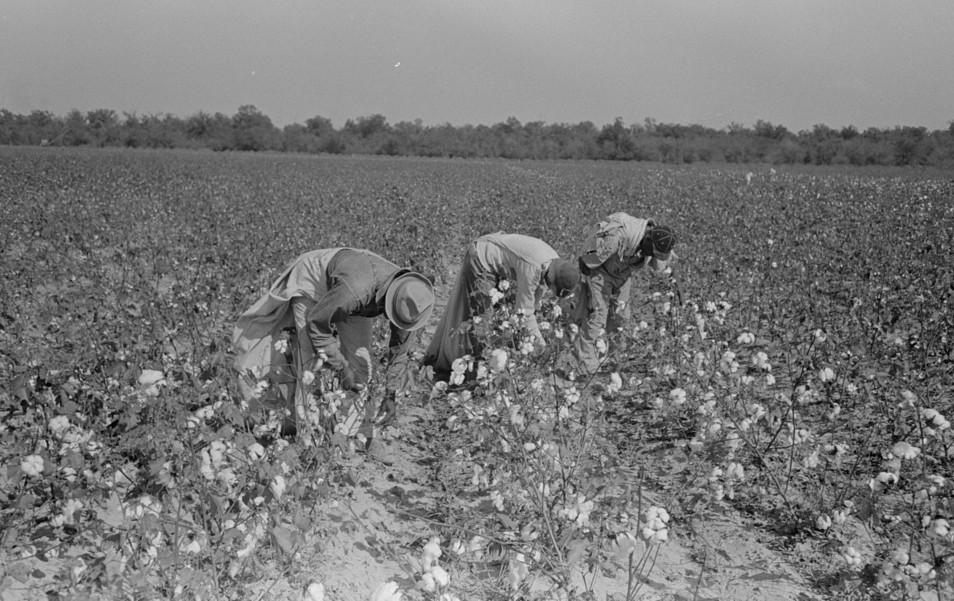 picking cotton lake dick2