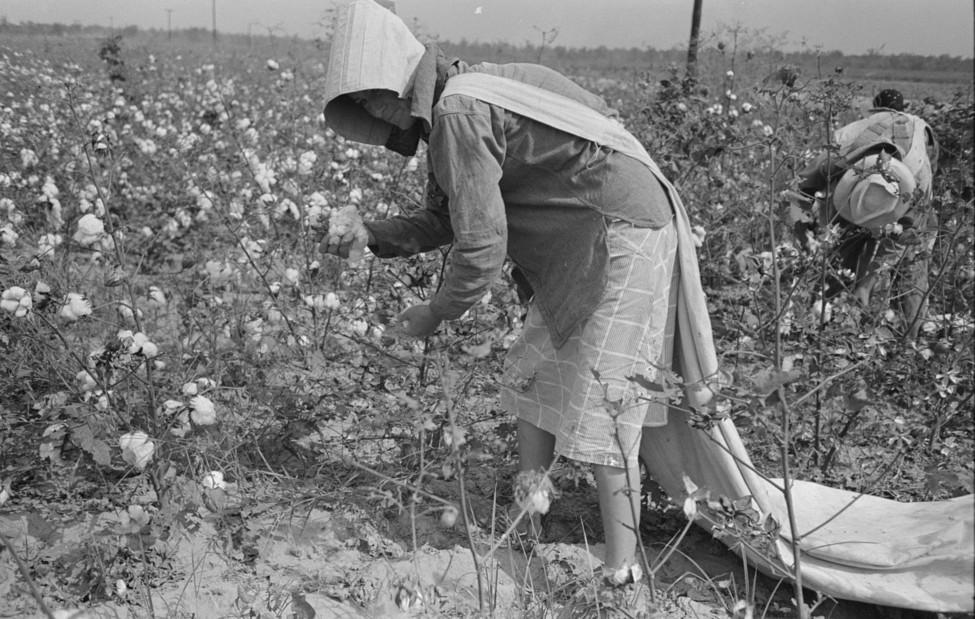 picking cotton lake dick4