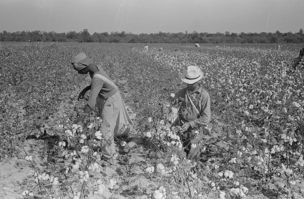 picking cotton lake dick6