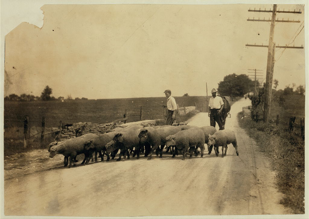 Driving sheep to town. Gartland boy did not get first name- Mother runs the Farmers Hotel, Winchester. Location Clark Co.--Winchester, Kentucky Lewis W. Hine.